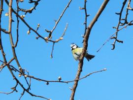 vårfågel